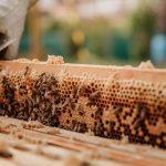 Pszczelarz przy plastrze miodu
